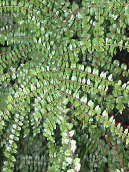 Chèvrefeuille à feuilles de buis 'Ernest Wilson'