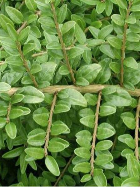 Chèvrefeuille à feuilles de buis 'Hohenheimer Findling'