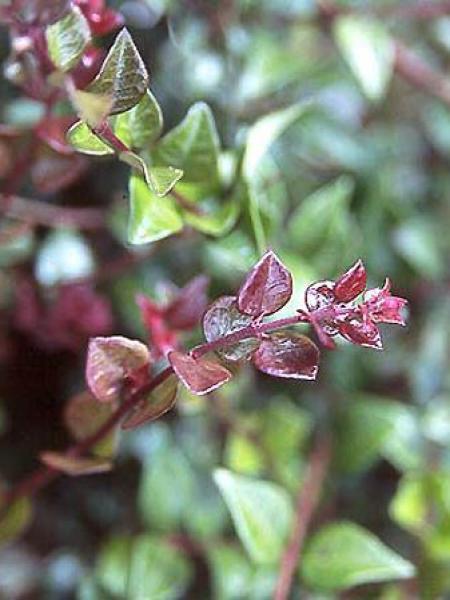 Chèvrefeuille à feuilles de buis 'Red Tips'