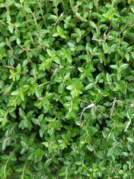 Chèvrefeuille à feuilles de buis 'Tidy Tips'