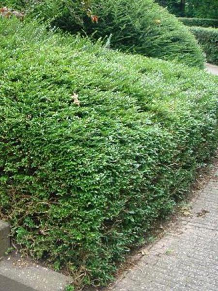Chèvrefeuille à feuilles de buis
