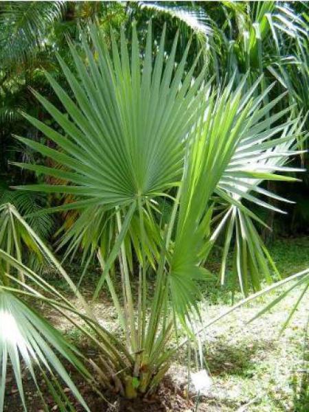 Choux palmiste nain