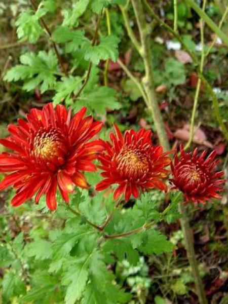Chrysanthème des jardins 'Brennpunkt'
