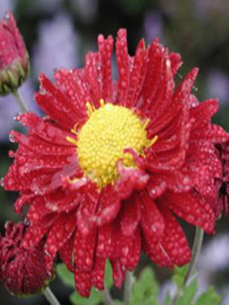Chrysanthème des jardins 'Ceddie Mason'