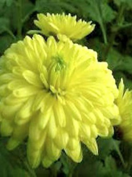 Chrysanthème des jardins 'Citronella'