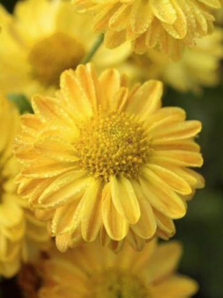 Chrysanthème des jardins 'Goldmarianne'
