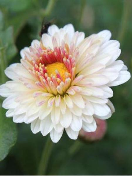 Chrysanthème des jardins 'Julia'