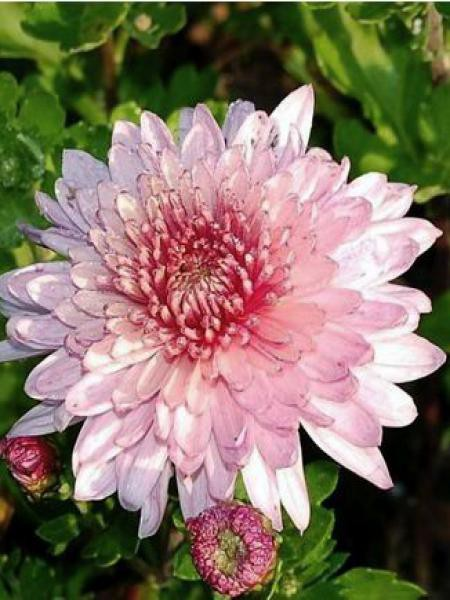 Chrysanthème des jardins 'Orchid Helen'