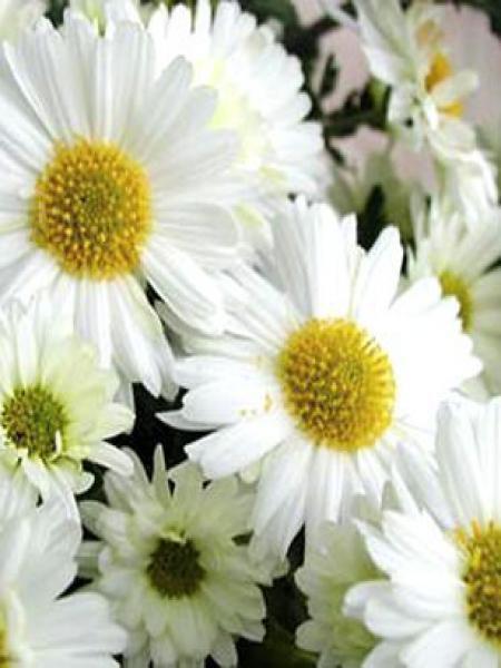 Chrysanthème des jardins 'Poesie'