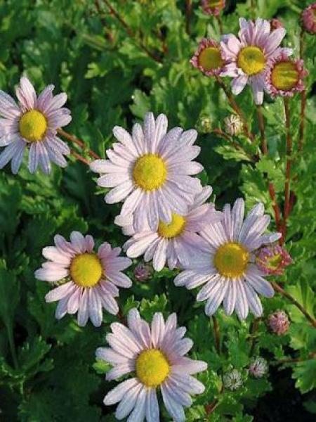 Chrysanthème 'Roseum'