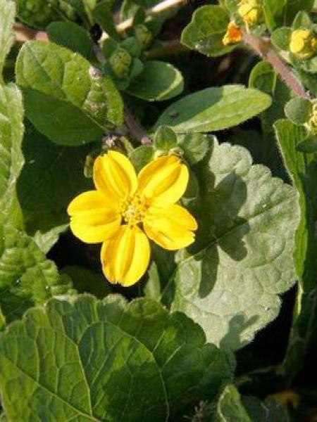 Chrysogonum virginianum 'Andre Vilette'