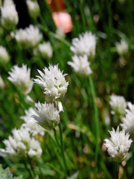Ciboulette 'Corsican White'