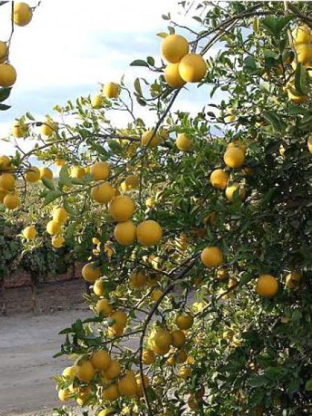 Citronier épineux
