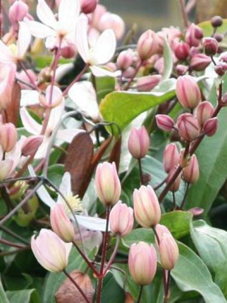 Clématite d'Armand 'Apple Blossom'