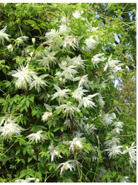 Clématite des Alpes 'Albina plena'
