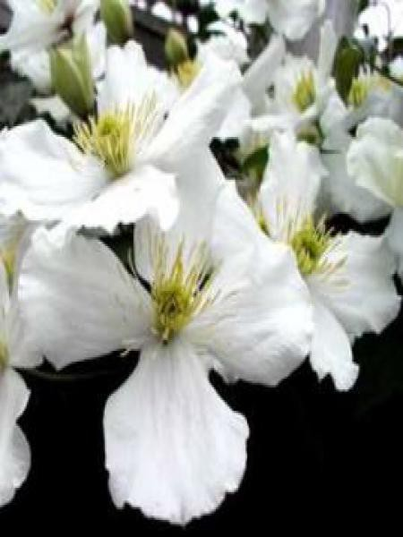 Clématite des montagnes'Grandiflora'