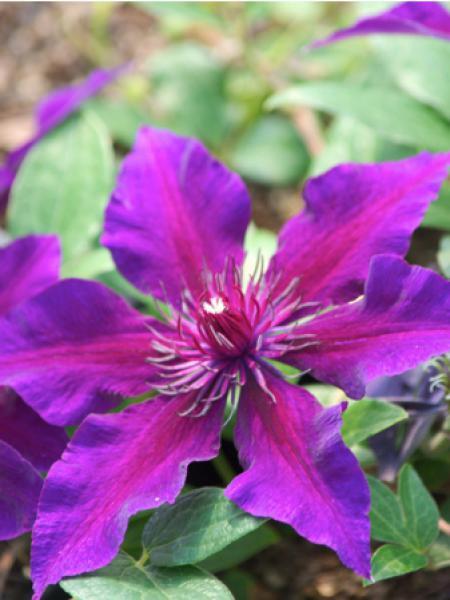 Clématite 'Fleuri™'