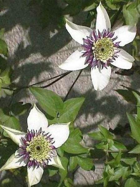 Clématite florida 'Sieboldii'