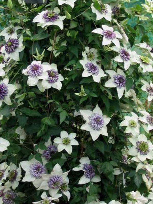 Clématite florida 'Sieboldii Alba'