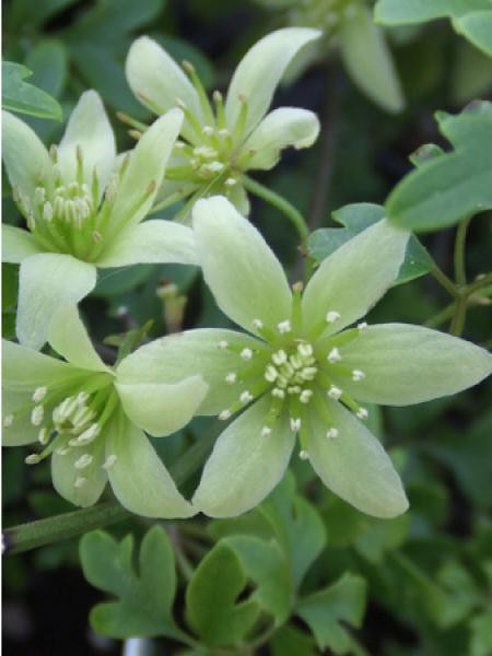 Clématite 'Fragrant Oberon®'