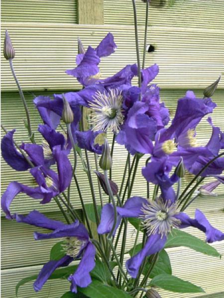 Clématite integrifolia Blue Pirouette® 'Zobluepi'