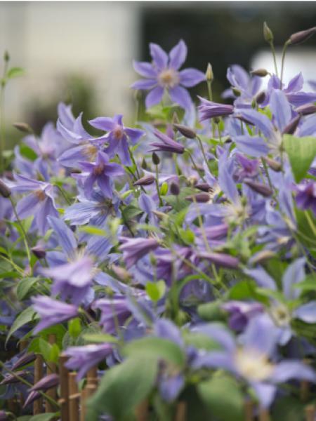 Clématite integrifolia Blue River® 'Zoblueriver'