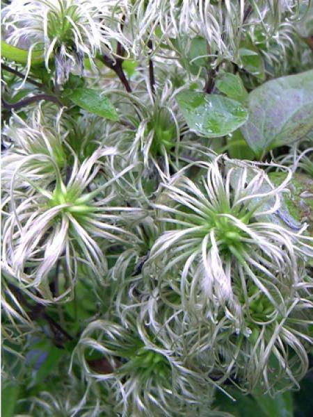 Clématite integrifolia 'Fascination® '