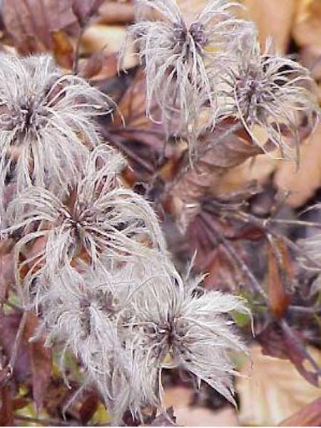 Clématite integrifolia