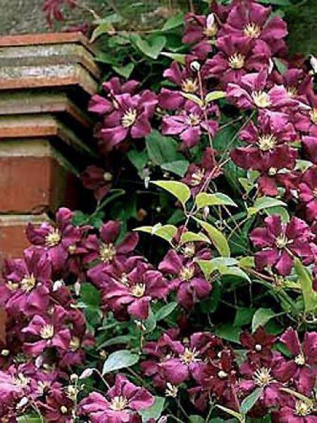 Clématite italienne 'Etoile Violette'