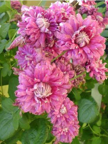 Clématite italienne 'Purpurea Plena Elegans'