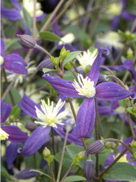 Clématite odorante \'Aromatica\' - Clematis flammula - Le Jardin du ...
