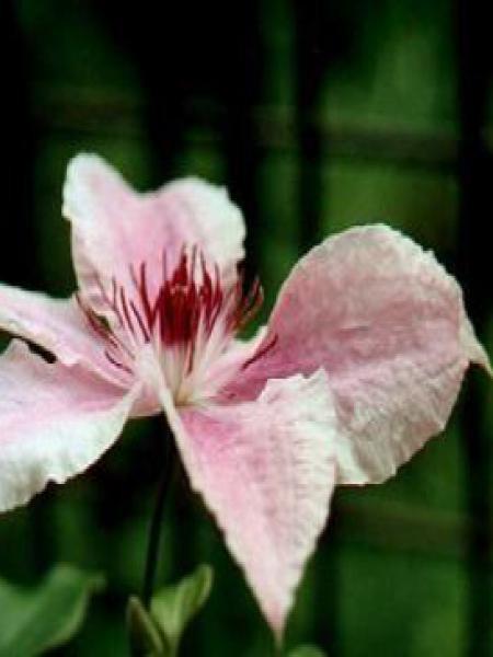 Clématite 'Pink Fantasy'
