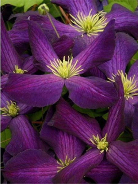 Clématite 'Purpurea'® 'Zojapur'