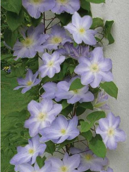 Clématite 'Success® lavender 'tra27''