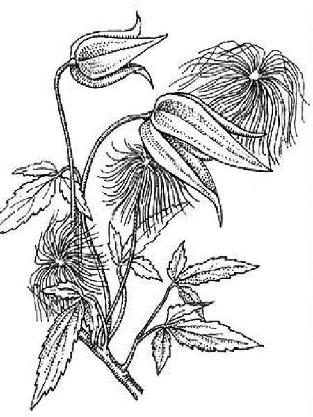 Clématite tangutica