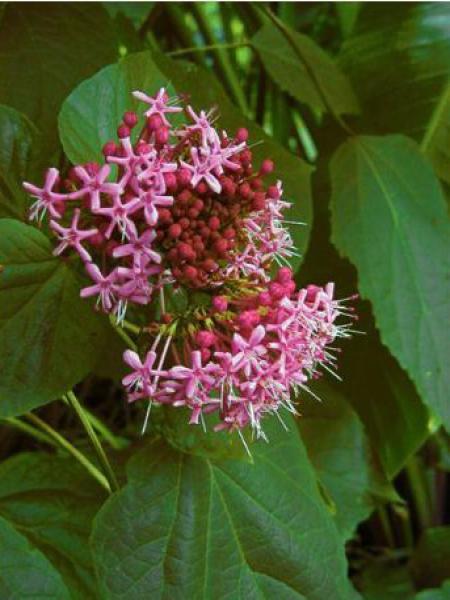 Clérodendron fétide