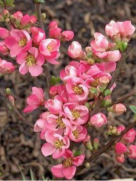 Cognassier du Japon 'Pink Lady'