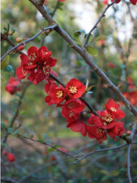 Cognassier du Japon 'Rubra Grandiflora'