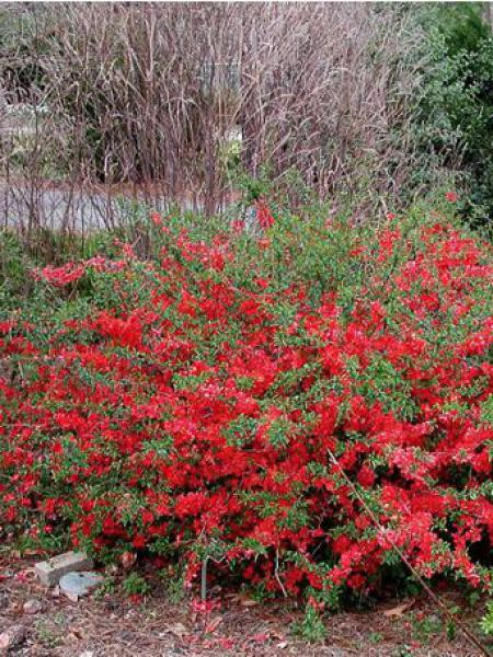 cognassier du japon 39 texas scarlet 39 chaenomeles superba le jardin du pic vert. Black Bedroom Furniture Sets. Home Design Ideas