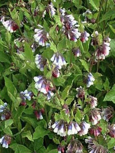 Consoude à grandes fleurs 'Sky Blue Pink'