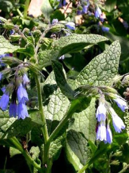Consoude 'Hidcote Blue'