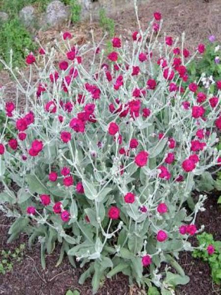 Coquelourde des jardins 'Atrosanguinea'