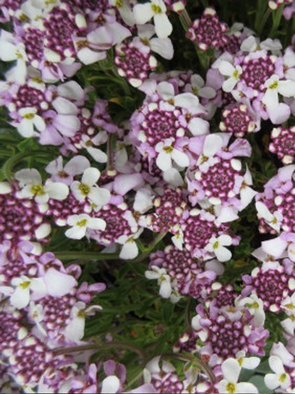Corbeille d'argent, Thlaspi 'Pink Ice'®