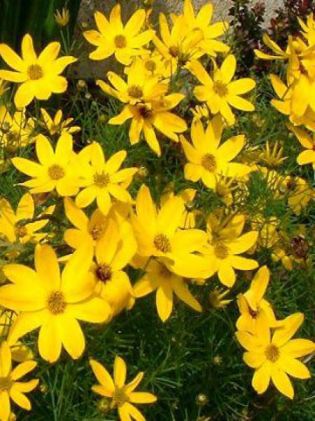 Coréopsis à feuilles en aiguilles 'Grandiflora'