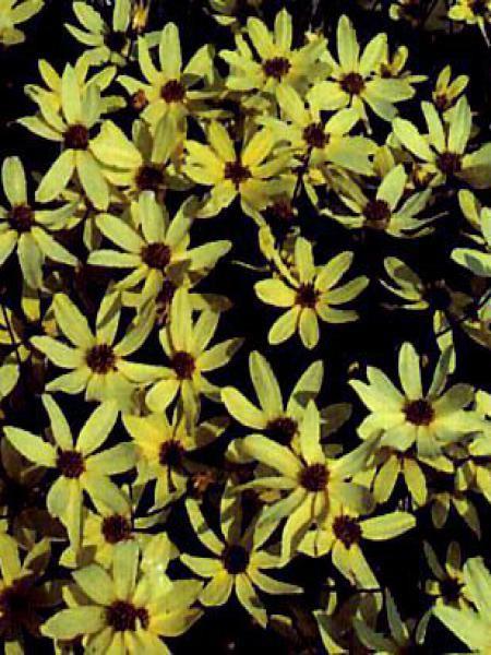 Coréopsis à feuilles en aiguilles 'Moonbeam'