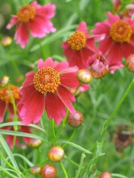 Coréopsis à feuilles en aiguilles 'Ruby Red'