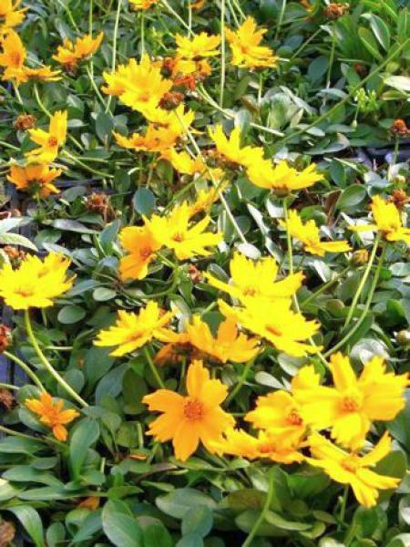 Coréopsis 'Elfin Gold'