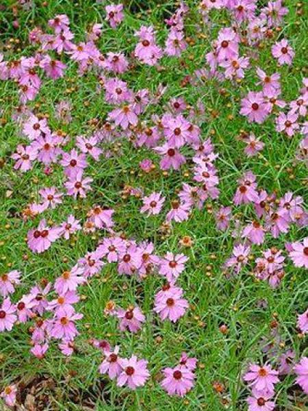 Coréopsis 'Limerock Passion'