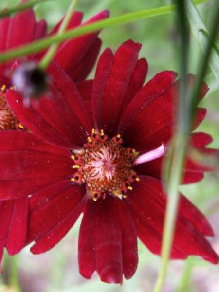 Coréopsis 'Limerock Ruby'