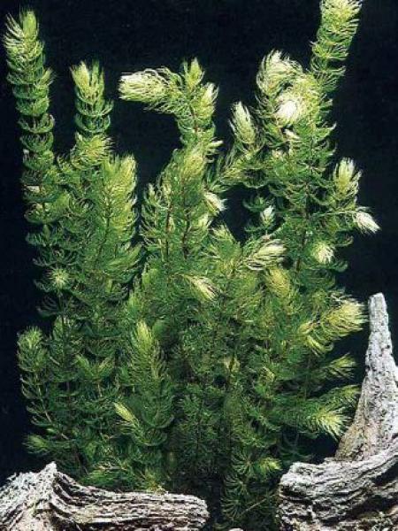 Cornille, Cératophylle